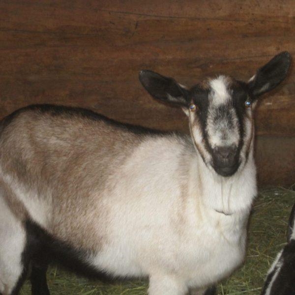 Dairy Goats & Goat Milk | Learn the Basics
