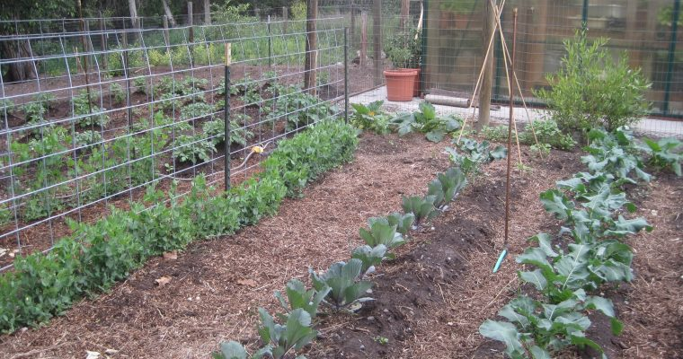 Vegetable Garden with Cabbage, Geen Peas and Potatoes!