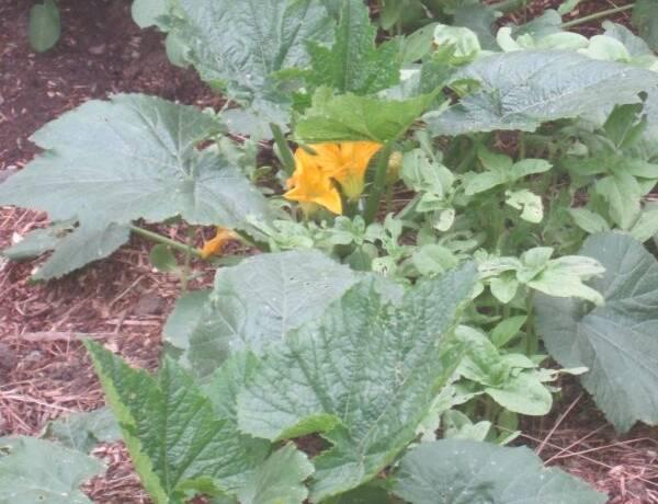 Zucchini Plant In Garden