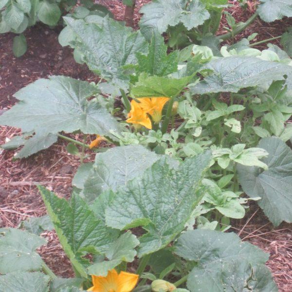 Grow Zucchini Squash + Zucchini Bread Recipe