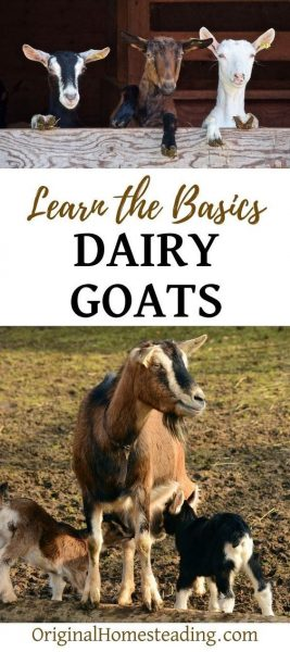 DAIRY GOATS and GOAT MILK | Learn the Basics promo image