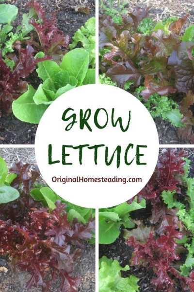 Growing lettuces and greens is easy to do plus they are so nutritious!