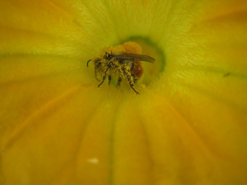 Pollen Covered Bee climbing out of male zucchini blossom.