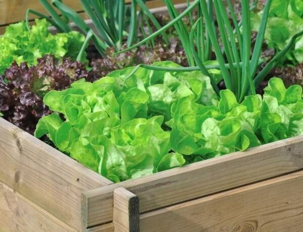 Raised Garden Bed with lettuces and green onions