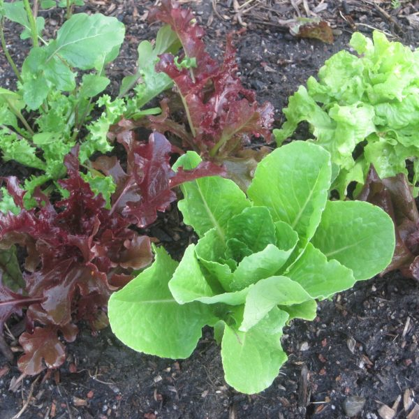Red and Green Leaf Lettuces (2)
