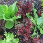 Red and Green Leaf Lettuces