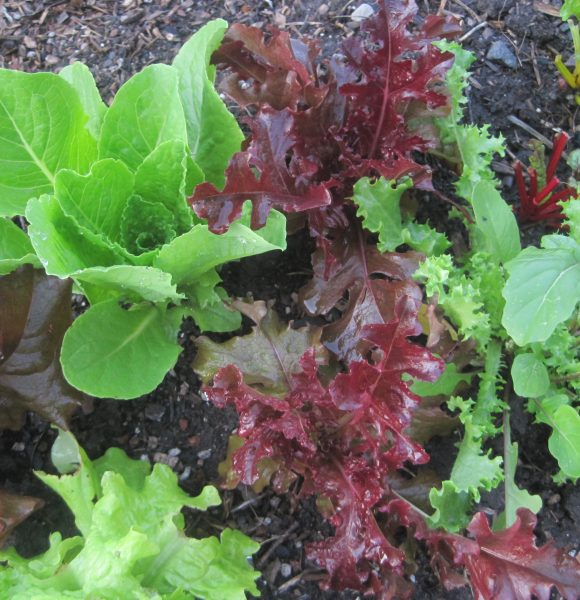 CUT AND COME AGAIN LETTUCE MIXES | EASY TO GROW