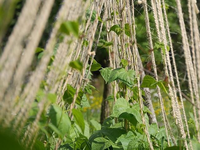 String-Trellis-for-Beans