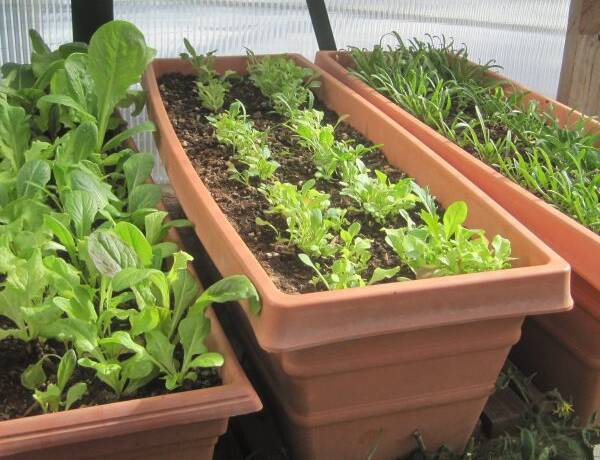 Succession Planting of Leaf Lettuces