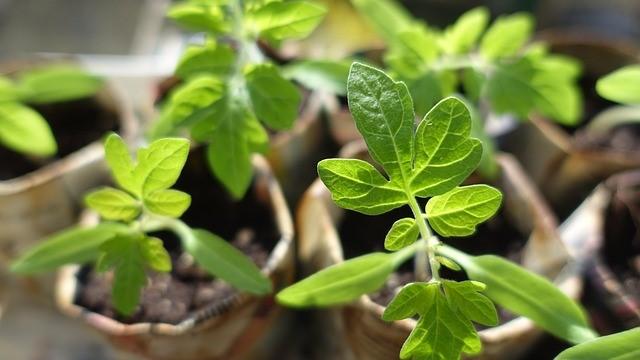 Tomato Plant Seedlings that are ready to plant in pots on a sunny patio or porch