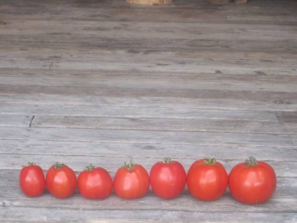 lots of Tomatoes lined up in a row on a old wooden porch