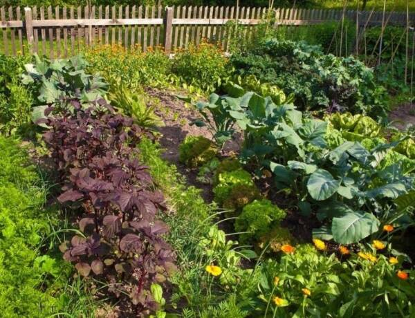Beautiful vegetable garden at the height of the summer with a bountiful harvest