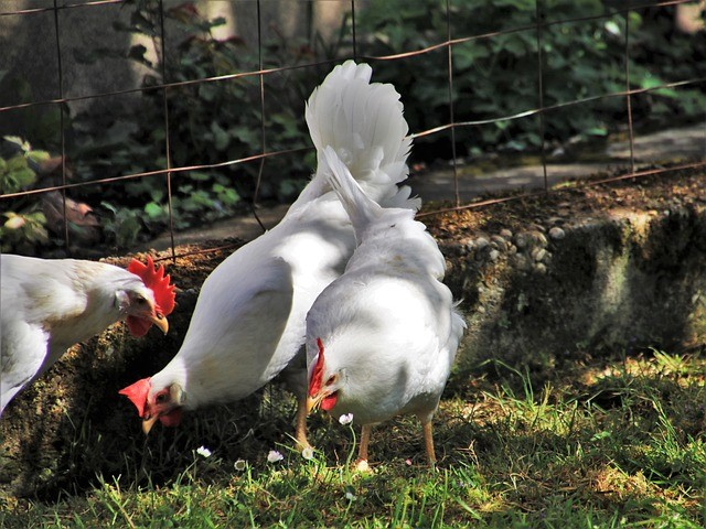 White Leghorn Hens and Rooster