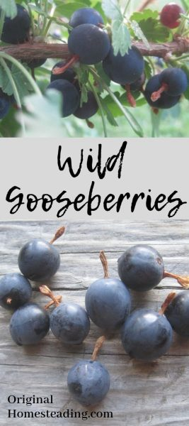 Wild Gooseberries are easy to forage