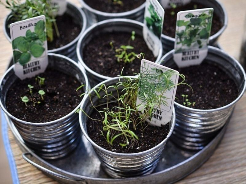 fresh herbs growing in small containers